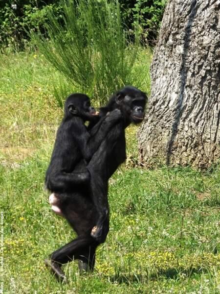 La vallée des singes est le seul endroit où l'on peut voir des bonobos, en grave danger d'extinction (Romagne,86)
