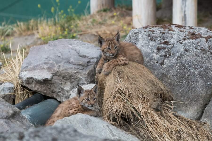 Près de Dunkerque, ce sont deux petits lynx des Carpates qui ont vu le jour en juin au zoo de Fort-Mardyck
