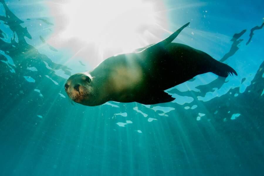 Cette jolie otarie nage... tel un poisson dans l'eau. En pleine mer, ses cousins combattent (parfois) des requins.