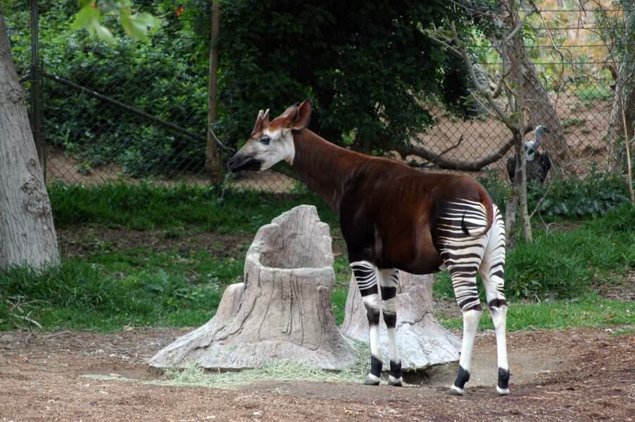 L'okapi est menacé dans son milieu naturel. En cause : le braconnage et la disparition de son habitat.
