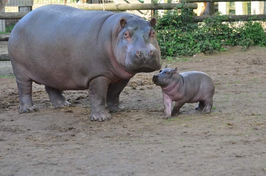 Poshassa, le premier hippopotame né en France cette année, en septembre