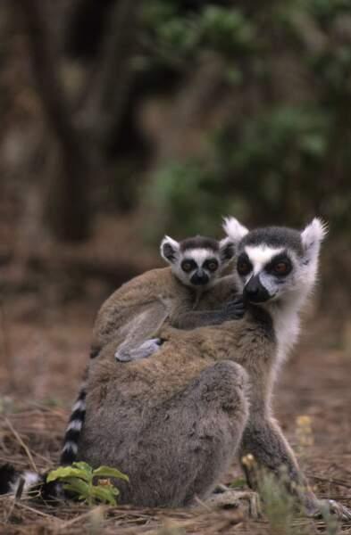 On fête aujourd'hui aussi les mamans lémuriens