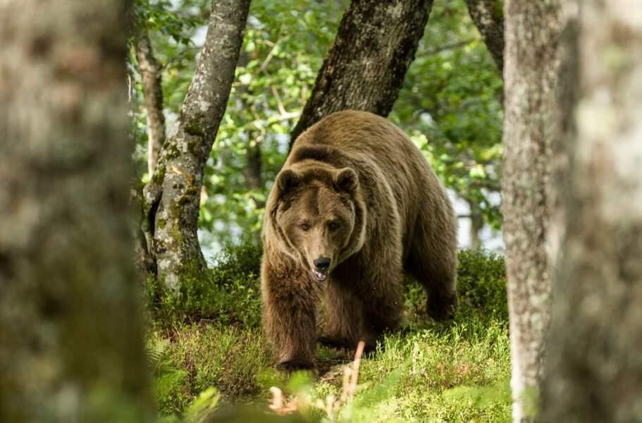Gare à l'ours !