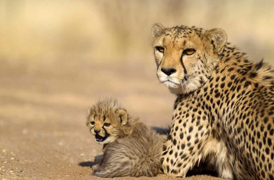 Pas touche au bébé guépard, maman veille !